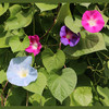 Morning Glory, Mix