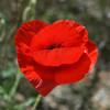 Poppy, American Legion