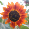 Sunflower, Autumn Beauty Mix - Organic