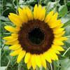 Sunflower, Taiyo - Organic