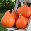 Potimarron Squash - Organic