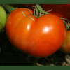 Boxcar Willie Tomato