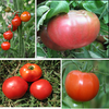 Old Time Heirloom Favorite Tomatoes Collection