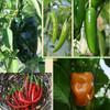 Mexican Pepper Collection