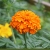 Marigold - African, Crackerjack Series Mix