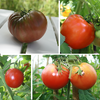 Annie's Favorite Tomatoes Collection