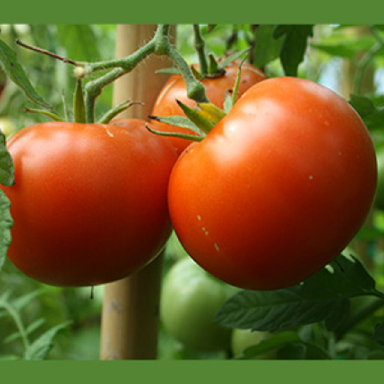 Mountain Princess Tomato - Organic