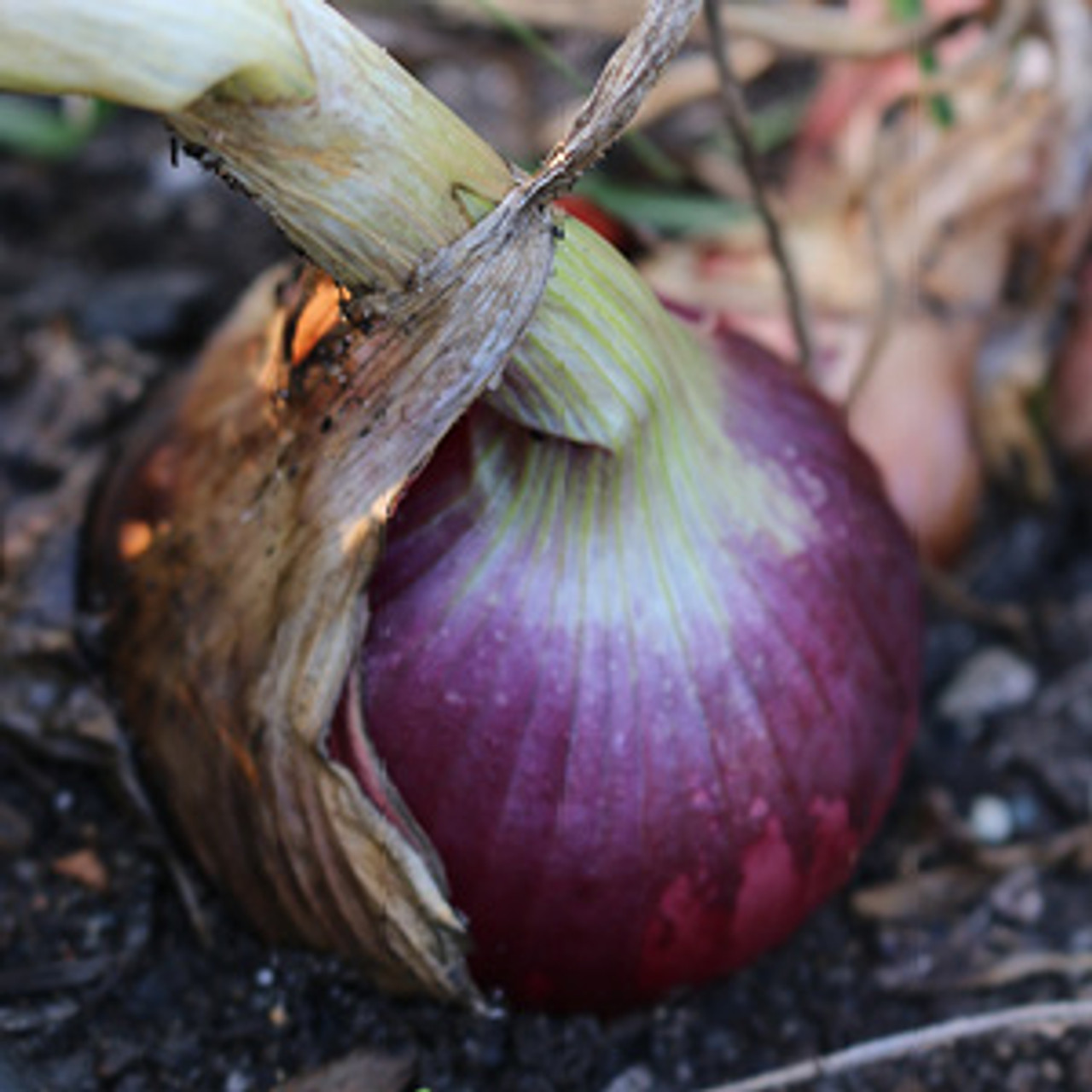 Ruby Red Onion