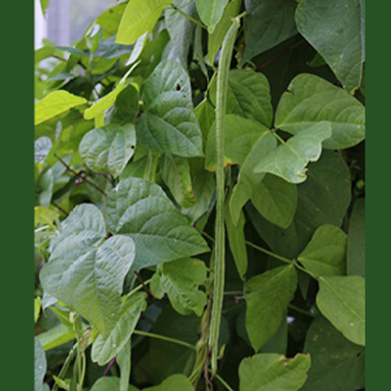 Kurosanjaku Asparagus Bean