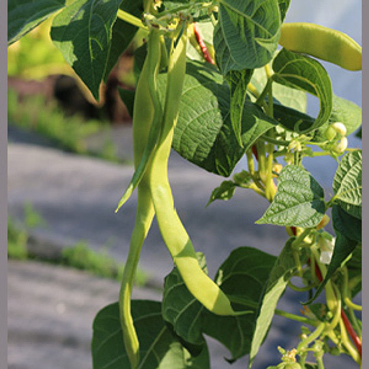Marvel of Venice Pole Bean