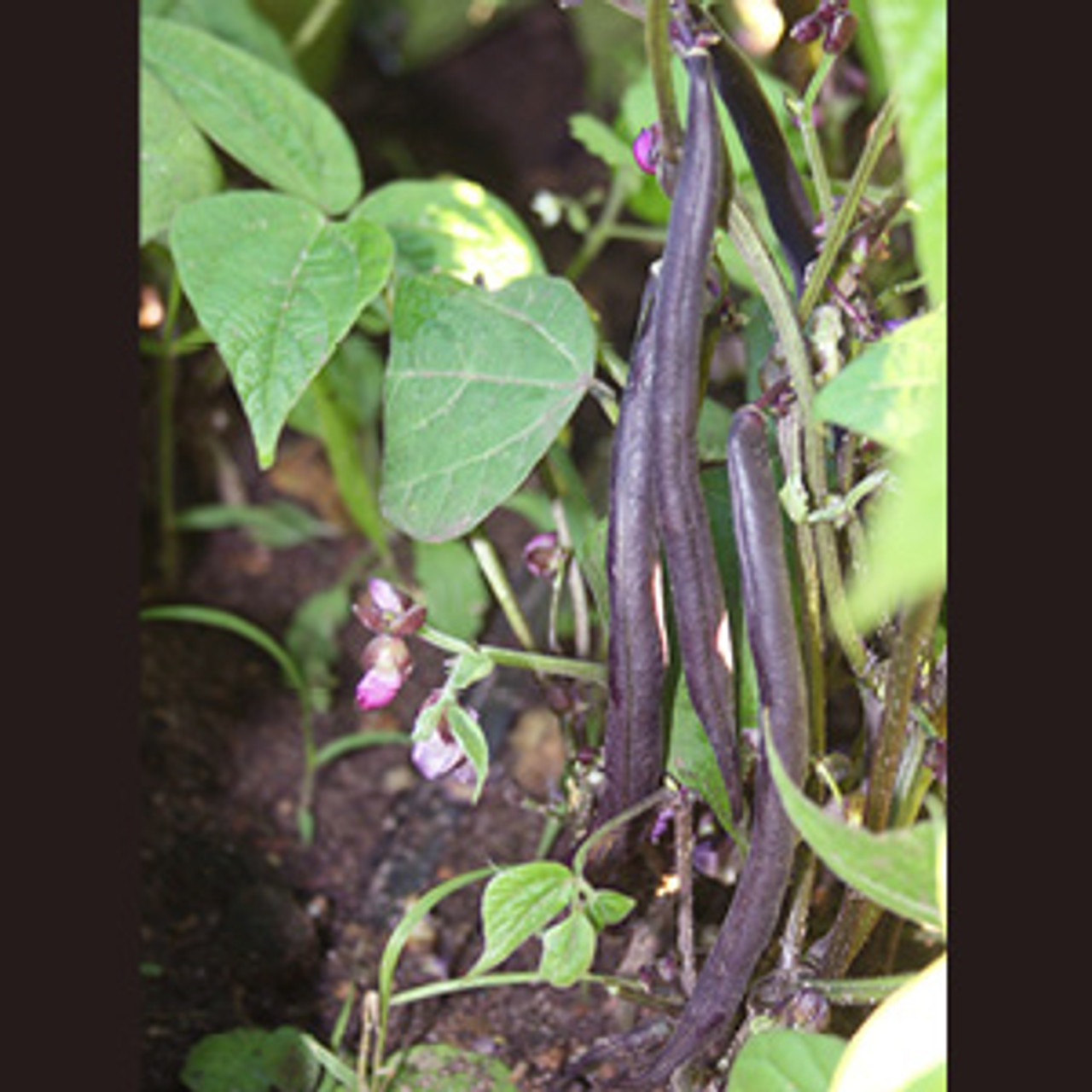 Royal Burgundy Bush Bean - Organic