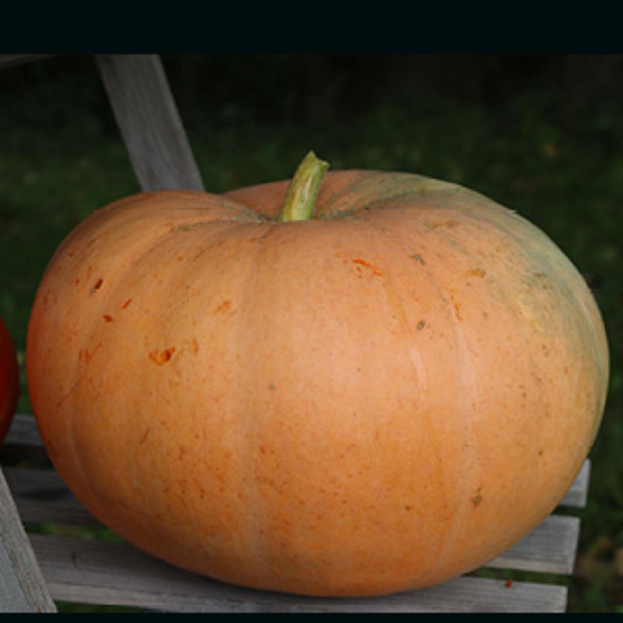 Jaune Gros de Paris Pumpkin