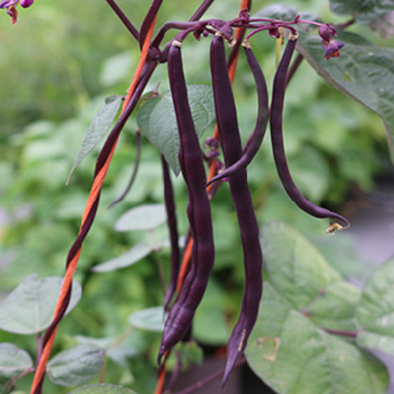Purple Pod Pole Bean