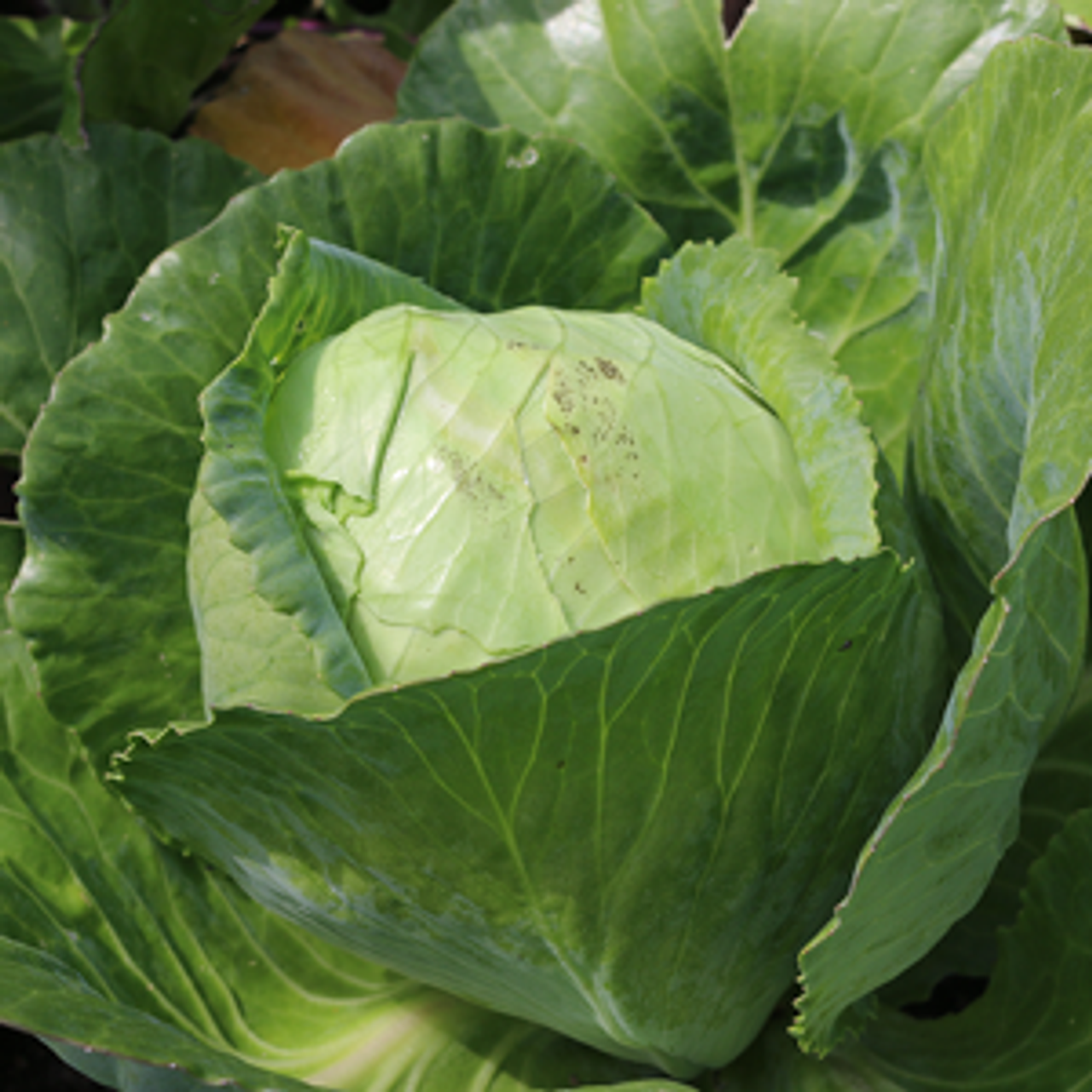 Early Jersey Wakefield Cabbage - Organic