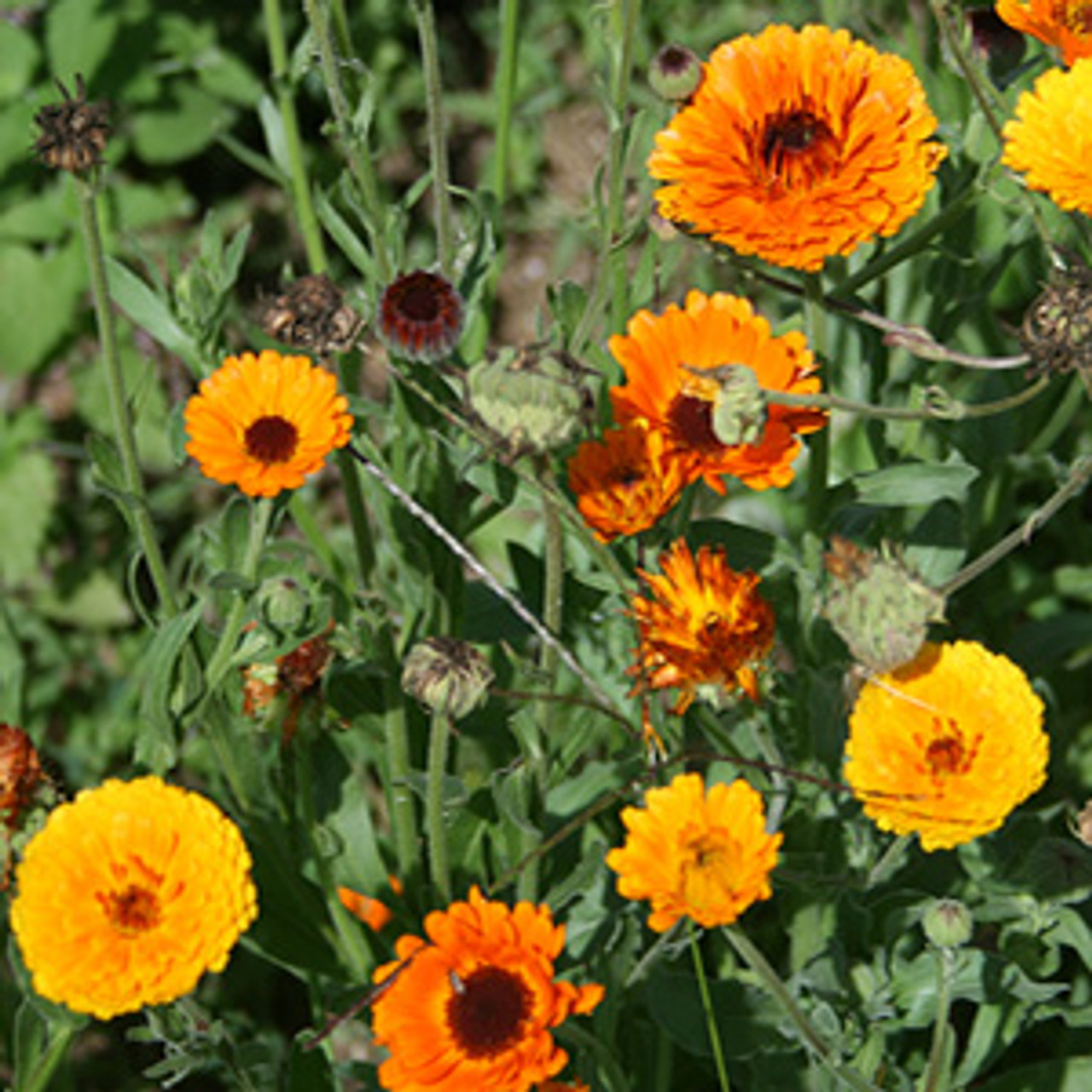 Calendula - Orange King