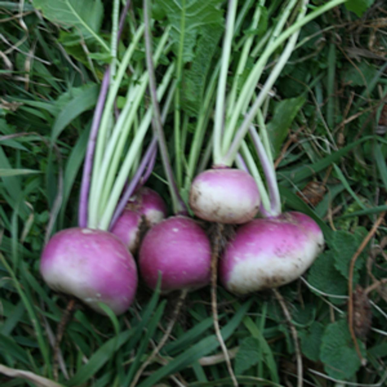 Viola di Milano Turnip