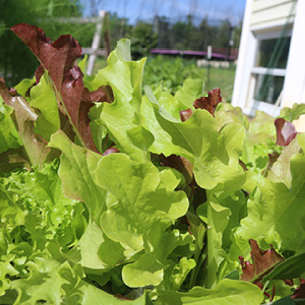 Cut and Come Again Lettuce Blend