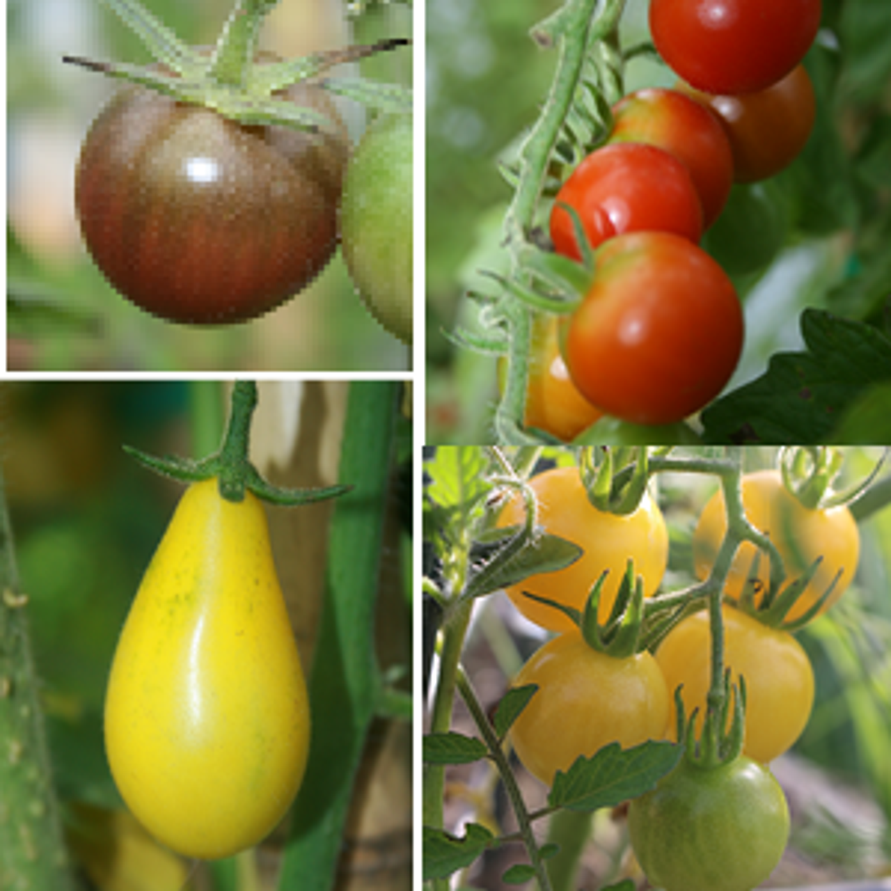 Rainbow Cherry Tomatoes Collection