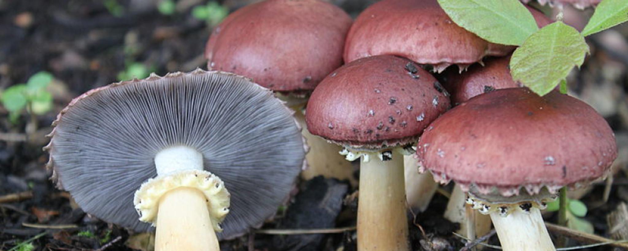 Mushroom Kits