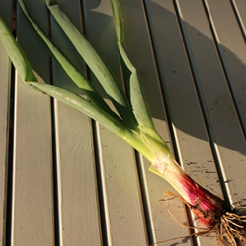 Red Beard Onion