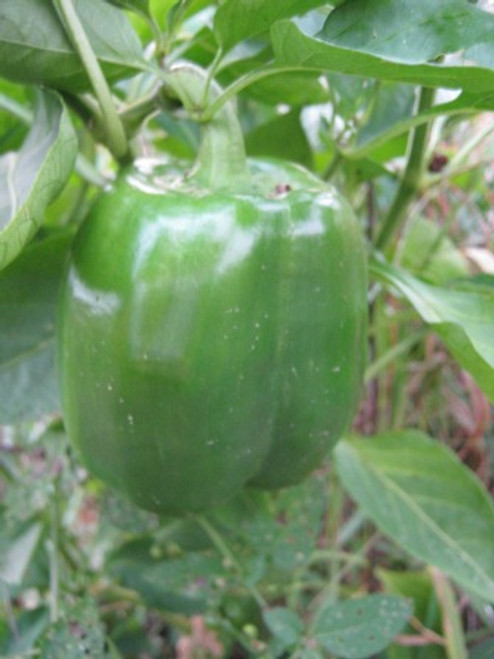 Jupiter Bell Pepper - Organic