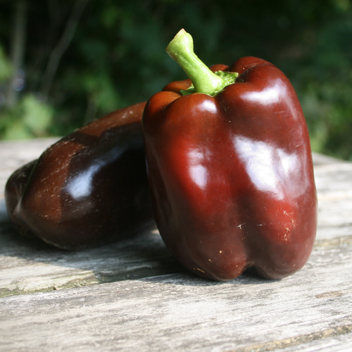 Chocolate Bell Pepper - Organic