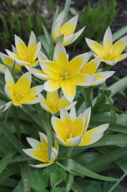 Tulip Dasystemon (Ships Early Oct.)