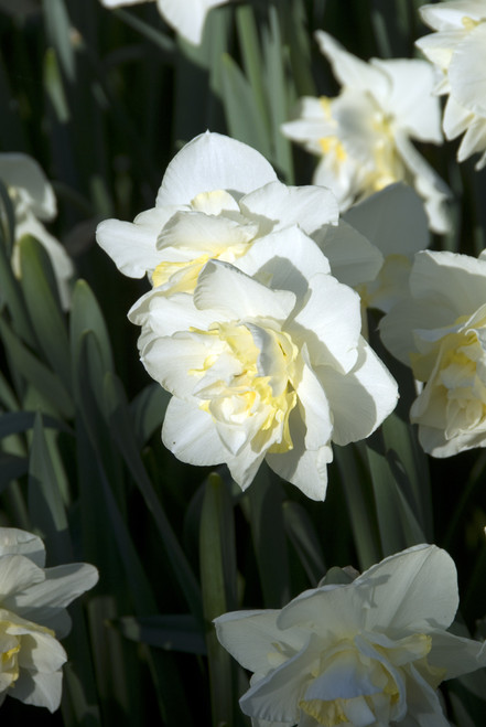 Narcissus White Lion (Ships Early Oct.)