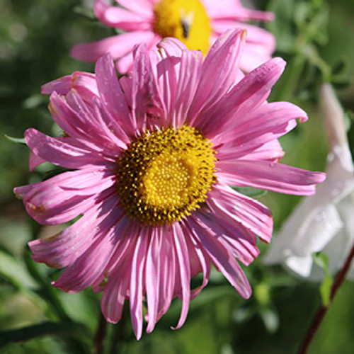 Aster, Single Rainbow