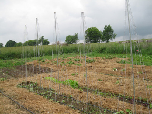 Several bean pole trellises in a row.