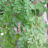 The Moringa Tree Leaf, The Most Nutritious Veggie In The World.
