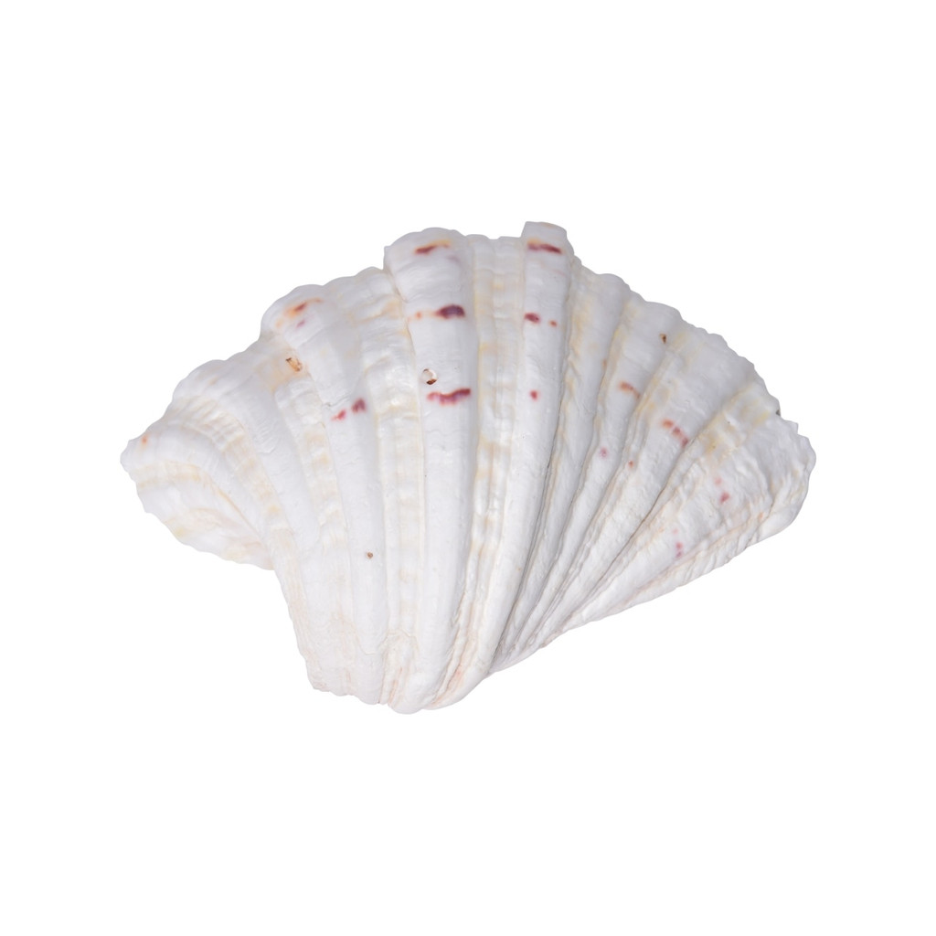 Hippopus Bear Paw Clam 8-10 Inch Pair
