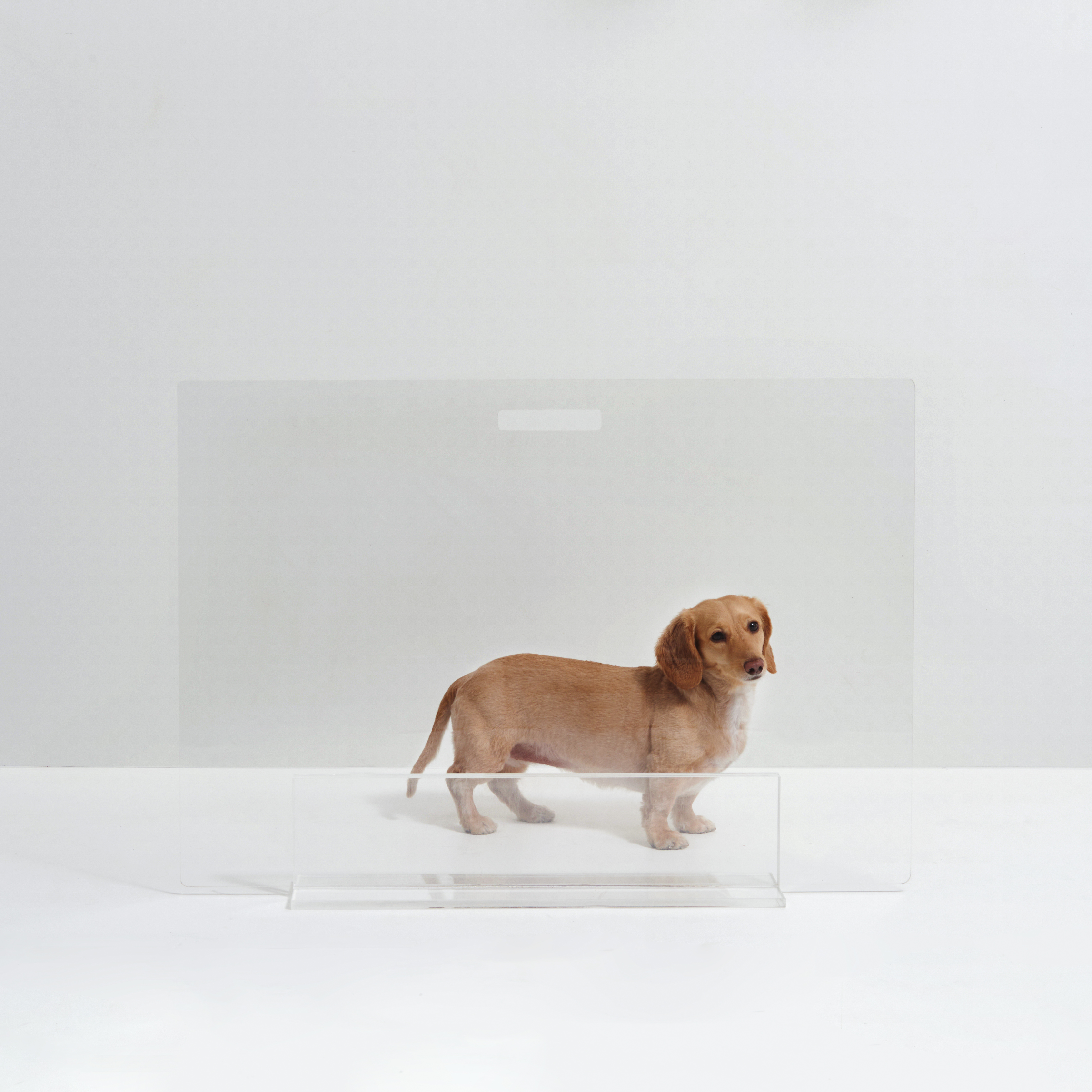 small dog behind clear panel gate