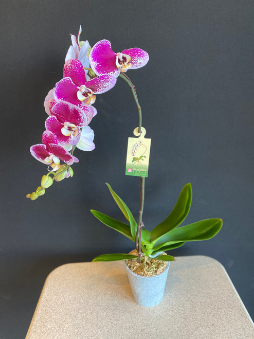 6 inch variegated purple and white phalaenopis Ochid plant