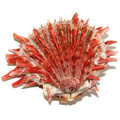 Natural Spiny Oyster Shell 25589