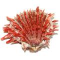 Spiny Oyster Shell Spondylus Crassisquama Species 34780