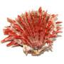 Spiny Oyster Shell Spondylus Crassisquama Species 33436