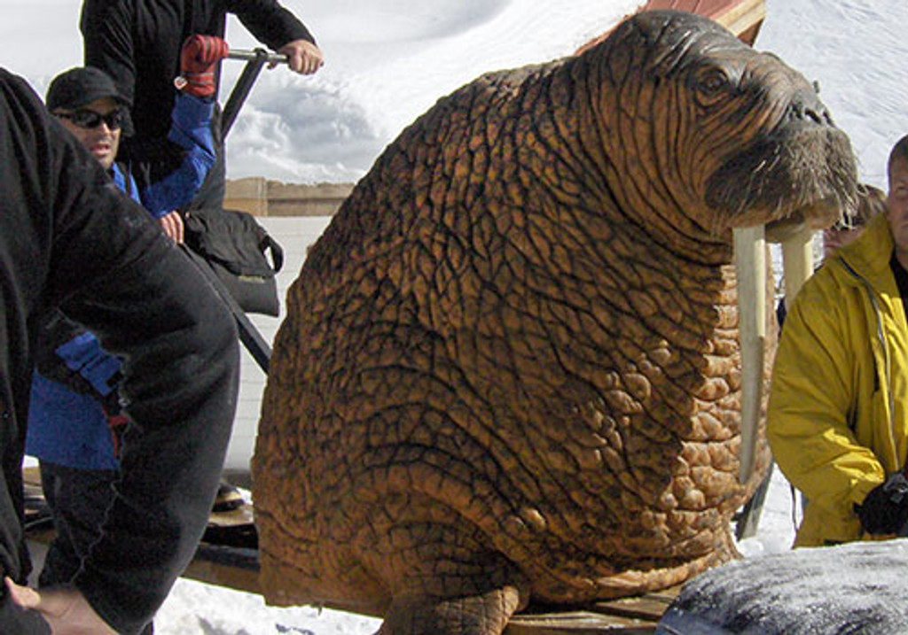 Walrus movie prop on location in Chile for Goodyear Tyre