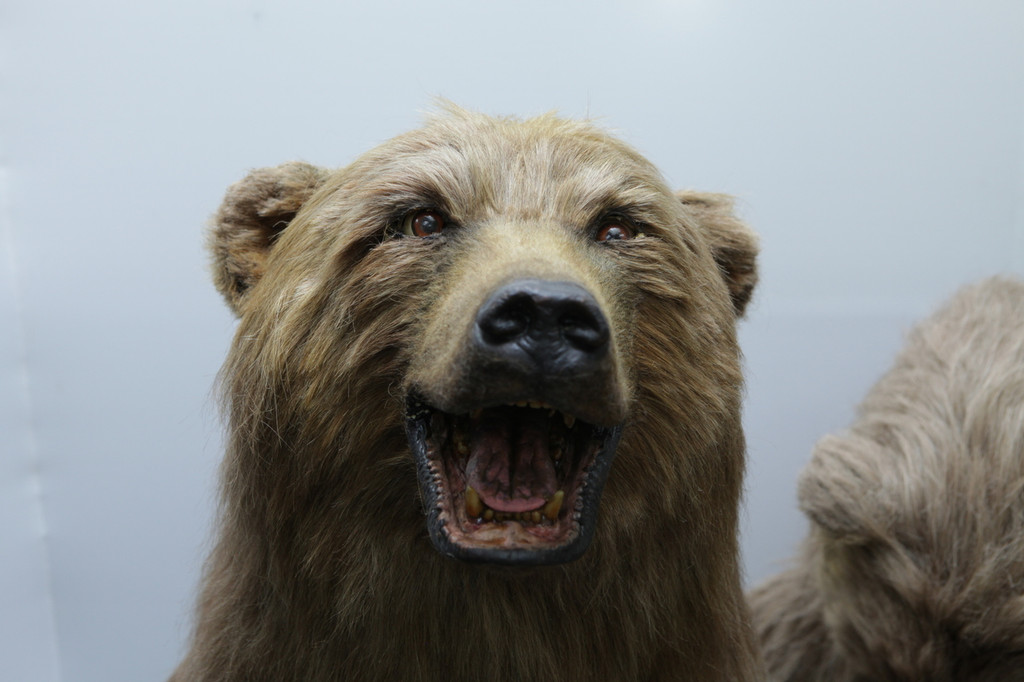 Animatronic brown bear upper neck and head with the following animations: snarls, lip curl, eyes blink, head up/down/right/left, talks, laughs, oso café, Urso marrom, ヒグマ, higuma, 棕熊, bruin, bruine beer, دب بنى