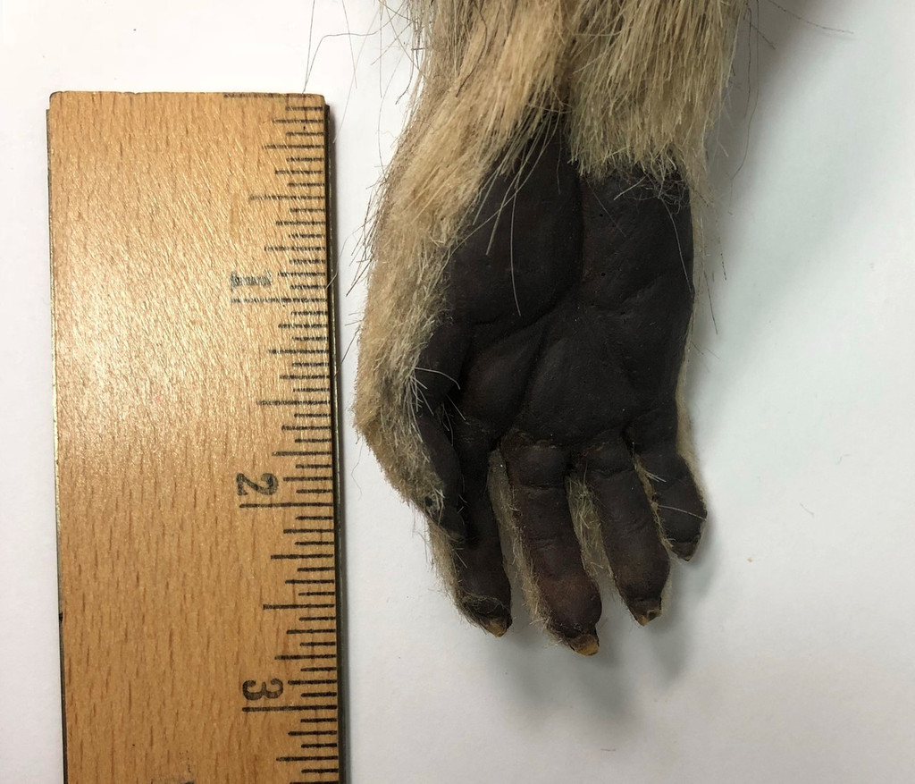 Small Mammal Paw and Arm Prop