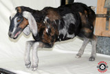 Realistic Life-Sized Goat Replica