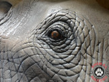 Amazing detail in this Realistic, life-sized elephant face, tusks, and ears