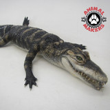 Baby alligator replica made of silicone.  This is flexible and lifelike.  Currently in use as edutainment.