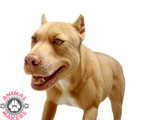 ピットブル, 鬥牛犬, pitbull, bull terrier, muscular, ferocious, realistic dog replica, fake dog, dog prop, pooch