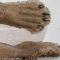 Realistic Lion Glove and Chest for Film Production