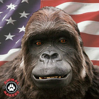 Amazing, realistic gorilla costume that is built in the USA