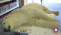Bear Full Body Laying Down Position Realistic Animal Replica