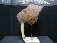 This walrus head and tusks are included and are made from the art production and mold set offered online here.