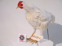 Chicken puppet life sized replica