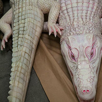 Realistic Caiman Alligator Flexible Prop